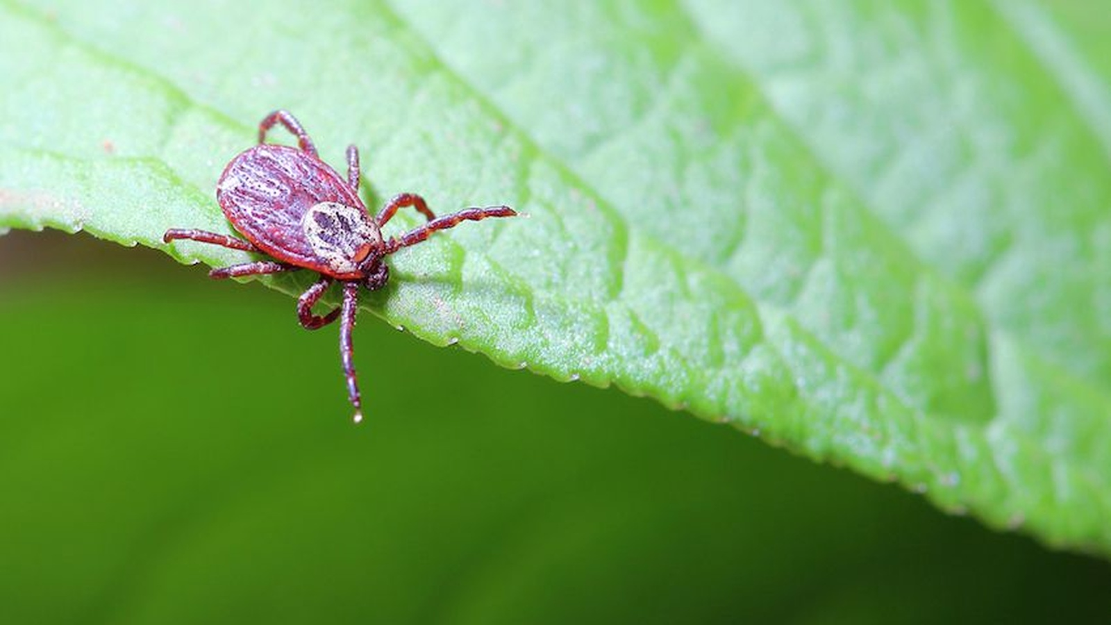 A New Cause Of Lyme Disease Discovered!