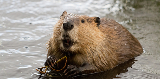 Are You Eating Beaver Butt Without Even Knowing It? (Shocking Truth!)
