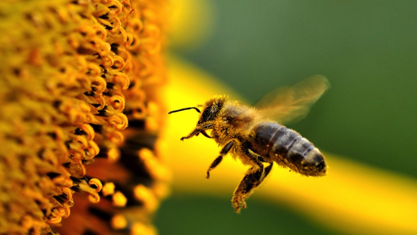 Pesticides Are 'Killing Honeybee Population Worldwide'