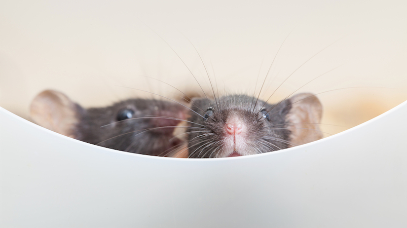 What Do They Do To Lab Rats to Induce Cancer?