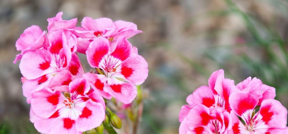 Geranium Rose.jpg